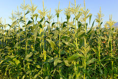 Corn plants, a staple food of the world Royalty Free Stock Image