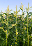 Corn plants, a staple food of the world. Popular commodity to trade and a crop that is wind pollinated and often hybridized Royalty Free Stock Photos