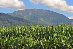 Corn plants in upper bavaria Stock Images