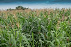 Corn pollen and sky royalty free stock photo