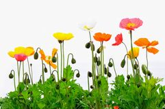 Corn poppies Royalty Free Stock Image