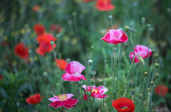 Corn poppies. Colorful corn poppies are blooming in profusion stock image