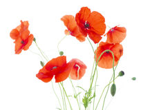 Corn Poppies with Seed Pods and Buds  (Papaver Rho Stock Images