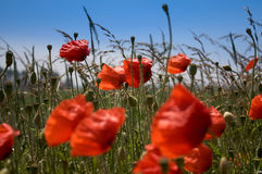 Corn poppy. Field with corn-poppy in front of blue sky Stock Image