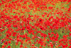 Corn poppy Stock Photos
