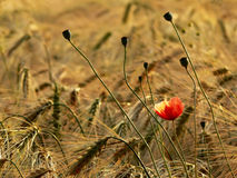 Corn poppy Stock Photography