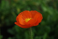 Corn poppy. In green garden Royalty Free Stock Photography