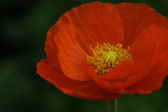 Corn poppy. In green garden Stock Photography