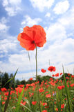 Corn poppy Royalty Free Stock Photo
