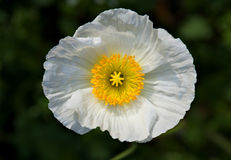 Corn poppy Stock Image