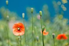 Corn poppy. This is the corn poppy was taken in the spring Stock Photo