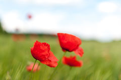Corn Poppy Stock Photo