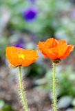 Corn poppy. Orange corn poppy in full bloom in the sun Royalty Free Stock Photo
