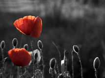Free Corn Poppy Royalty Free Stock Images - 6434359
