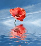Corn poppy Stock Images