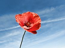 Corn poppy Royalty Free Stock Image