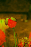 Corn poppy in bloom Stock Photo