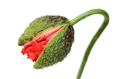 Corn poppy, bud Stock Photography