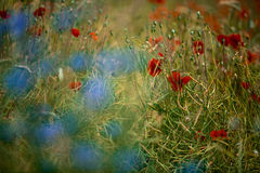 Corn Poppy and Cornflower Royalty Free Stock Photography