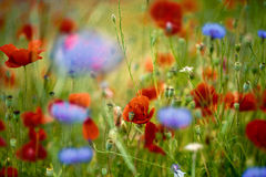 Corn Poppy and Cornflower Royalty Free Stock Images