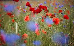 Corn Poppy and Cornflower Stock Photography