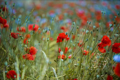 Corn Poppy and Cornflower Stock Photo