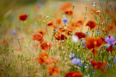Corn Poppy and Cornflower Stock Photos