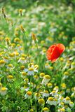Corn Poppy and daisies Stock Photography