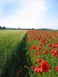 Corn poppy field Stock Image