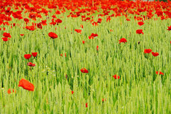 Corn poppy in field Stock Photos