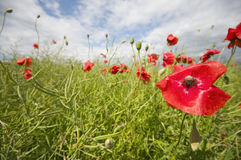 Corn poppy on a field Stock Photo