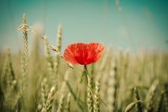 Corn poppy. A poppy in a corn field Stock Image