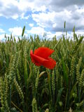 The corn poppy Royalty Free Stock Images