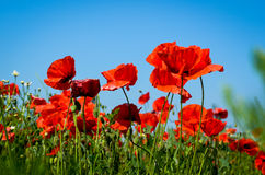 Corn poppy field Stock Photo