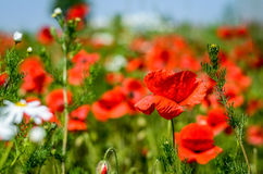 Corn poppy field Royalty Free Stock Photography