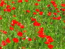 Corn poppy field detail Royalty Free Stock Photography