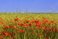 Corn poppy field Stock Photography