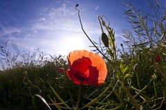 Corn Poppy on a Field Royalty Free Stock Photo