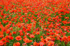 Corn Poppy Field Royalty Free Stock Images