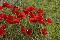 Corn Poppy, Field Poppy (Papaver rhoeas). Corn Poppy (Papaver rhoeas) also Corn Rose, Field Poppy, Flanders Poppy, Red Poppy, Red Weed, Coquelicot on a meadow in royalty free stock photography
