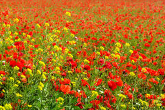 Corn Poppy Field Royalty Free Stock Photos