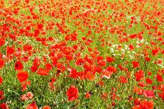 Corn Poppy Field Royalty Free Stock Photo