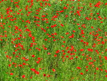 Corn poppy field background stock images