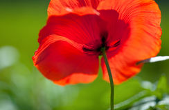 Corn Poppy Flower Stock Photo