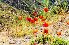 Corn poppy. Flower Field with red colours Stock Photos