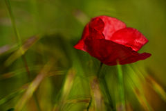 Corn Poppy Flower (Papaver rhoeas) Royalty Free Stock Images