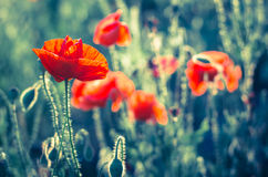 Corn poppy flower Royalty Free Stock Images