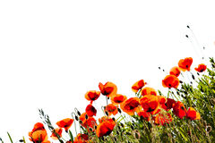 Corn Poppy Flowers Royalty Free Stock Photo