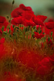 Corn Poppy Flowers Stock Photography