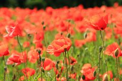 Corn poppy flowers field Royalty Free Stock Photography